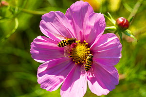 Male and female Hoverflies (Syphrus) on Pink Cosmos flower, sownto attract bees and other insects. Outside Wales Environment Centre, Bangor, Gwynedd, North Wales - David  Woodfall
