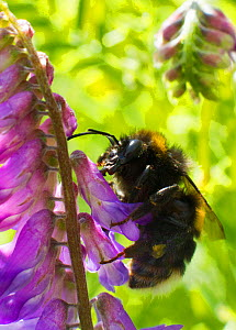 White tailed bumble bee (Bombus lucorum) feeding Tufted Vetch  (Viccia cracca) by piercing the top of the flower and not pollinating the plant. Newport Marshes Reserve, Gwent, Wales, UK. July.  -  David  Woodfall