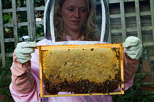 Heather Moore, bee consultant with frame of honey bees (Apis mellifera) in garden. Bristol, Avon, England, UK. August 2014.  -  David  Woodfall