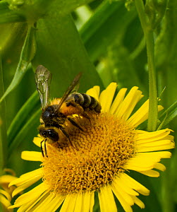 Honey bee (Apis mellifera) on Fleabane  (Erigion eriginousus) Newport Marshes Reserve, Gwent, Wales, UK. August. - David  Woodfall