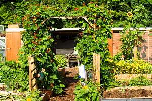 Allotments with runner beans (Phaseolus coccineus), pollinated by bees, Cwmbran, Gwent, Wales, UK. August. - David  Woodfall