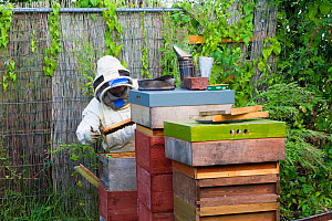 Beekeeper looking after honey bees (Apis mellifera) in allotments, Cwmbran, Gwent, Wales, UK. August 2014. - David  Woodfall