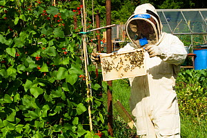 Beekeeper looking at honeybees (Apis melifera) on frame in allotments with Runner Beans  (Phaseolus coccineus) Cwmbran, Gwent, Wales, UK. August 2014.  -  David  Woodfall