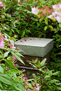 Honeybees hives with himalayan balsam (Impatiens glandulifera) a very prolific nectar plant, Usk, Gwent, Wales, UK. August.  -  David  Woodfall
