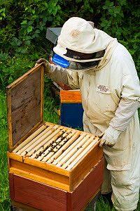 Beekeeper opening hives, Usk, Gwent, Wales, UK. August 2014.  -  David  Woodfall