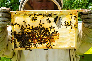 Bee-keeper with frames distorted by excessive heat, showing a risk climate change can hold for bees, Usk, Gwent, Wales, UK. August. - David  Woodfall