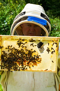Bee-keeper with frames distorted by excessive heat, showing a risk climate change can hold for bees, Usk, Gwent, Wales, UK. August 2014. - David  Woodfall