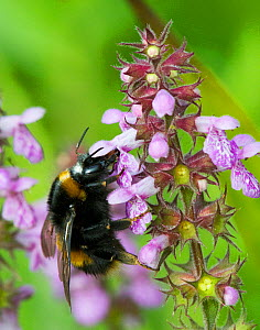 Buff tailed bumble bee (Bombus terrestris) on Marsh Woundwort  (Stachys palustris) North Wales, UK, July. - David  Woodfall