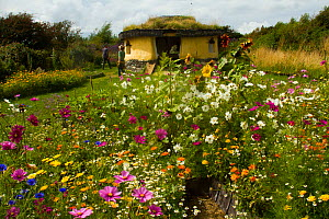 Colourful flowers including Cosmos, Sunflowers and Marigolds, surrounding Iron Age roundhouse to benefit bees. Felin Uchaf, Aberdaron, Gwynedd, North Wales, UK. August 2014. - David  Woodfall