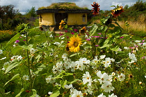 Colourful flowers including Sunflowers and White Cosmos flowers,  surrounding Iron Age roundhouse to benefit bees. Felin Uchaf, Aberdaron, Gwynedd, North Wales, UK. August 2014. - David  Woodfall