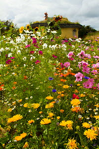 Colourful flowers including Sunflowers, Cornflowers, Pink Cosmos and Marigolds, surrounding Iron Age roundhouse to benefit bees. Felin Uchaf, Aberdaron, Gwynedd, North Wales, UK. August. - David  Woodfall
