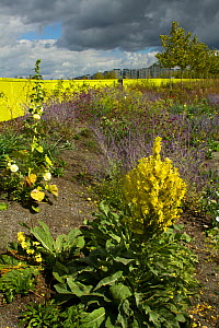 Mixture of flowering plants including Mullein (Verbascum) planted to attract bees in formerly derelict land surrounding Olympic stadium. Queen Elizabeth Olympic Park, Stratford, London, England, UK, A...  -  David  Woodfall