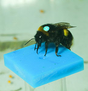 Buff tailed bumblebee (Bombus terrestris) feeding on sugar solution, during experiment by Dr Stephan Wolf into flight behaviour of drones. Queen Mary University, London, England, UK, September 2014. - David  Woodfall