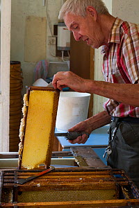Beekeeper Nick Hunt removing wax from honeycomb. Usk, Gwent, Wales, UK. August 2014.  -  David  Woodfall
