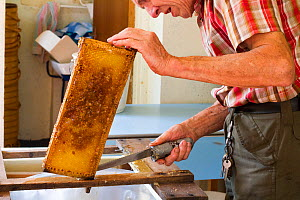 Beekeeper Nick Hunt removing wax from honeycomb. Usk, Gwent, Wales, UK, August 2014.  -  David  Woodfall