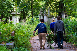 Friends of Tower Hamlets Cemetery Community Conservation volunteers carrying out conservation work to clear ivy from graveyard, and planting flowers as nectar food plants for bees. Bow, London, Englan...  -  David  Woodfall