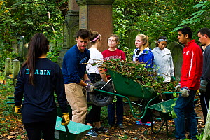Friends of Tower Hamlets Cemetery Community Conservation volunteers carrying out conservation work to clear ivy from graveyard and to plant flowers as nectar food plants for bees. Bow, London, England...  -  David  Woodfall