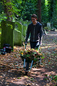 Friends of Tower Hamlets Cemetery Community Conservation volunteer carrying out conservation work to clear ivy from graveyard, and planting flowers as nectar food plants for bees. Bow, London, England...  -  David  Woodfall