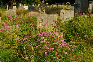 Valerian (Valeriana officinalis) important nectar plant, growing in cemetery, London, England, UK, September - David  Woodfall