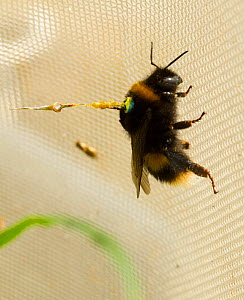 Buff tailed bumble bee (Bombus terrestris) queen in flight tunnel, with transponder attached by Dr Stephan Wolf to monitor its flights. Rothampsted Agricultural Research station, Hertfordshire, UK. Se... - David  Woodfall