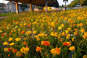 Mixture of flowers, including Marigolds (Calendula officinalis) sown to attract wild bee species grown on roundabout / underpass of Motorway, M32, in inner city Bristol, Avon, UK, September.  -  David  Woodfall