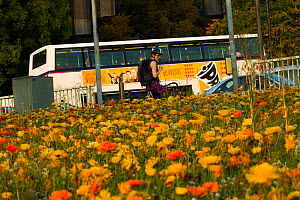 Woman looking at flowers, including Marigolds (Calendula officinalis) sown to attract wild bee species grown on roundabout / underpass of Motorway, M32, in inner city Bristol, Avon, UK, September.  -  David  Woodfall