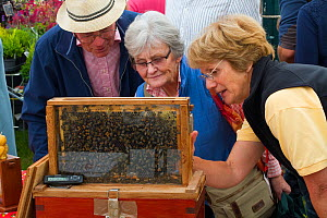Chairperson of Gwent Beekeepers showing visitors live bees at agricultural show. Usk, Gwent, Wales, UK, September 2014.  -  David  Woodfall