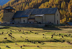 Sheep grazing in front of village church, Queyras Regional Park, Hautes-Alpes, France, October 2014.  -  Pascal  Tordeux