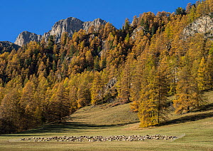 Sheep grazing in pasture in autumn, Queyras Regional Park, Hautes-Alpes, France, October 2014.  -  Pascal  Tordeux