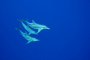 Rough-toothed dolphins (Steno bredanensis) Keauhou, Kona, Hawaii, USA, Central Pacific Ocean.  -  Doug Perrine