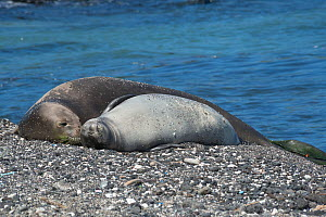 Hawaiian monk seal (Neomonachus schauinslandi) female and pup aged 6 weeks resting on beach. This shoreline is known locally as 'Trash Beach' because marine debris continually washes ashore here, bits...  -  Doug Perrine