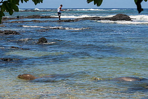 Hawaiian monk seal (Neomonachus schauinslandi) female with pup aged 6 weeks, swimming near shore and fisherman. Fishing is a major threat to monk seals, with a significant number of injuries and death...  -  Doug Perrine