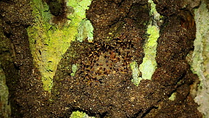 Termites (Isoptera) at nest entrance in a rainforest, Panguana Reserve, Huanuco Region, Peru.  -  Konrad  Wothe