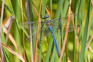 Emperor dragonfly (Anax imperator) male, Greenwich Peninsula Ecology Park, London, England, UK,  June. - Rod Williams