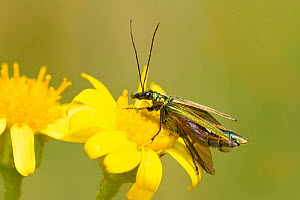 Female Thick-kneed flower beetle (Oedemera nobilis) warming up on Common ragwort, Brockley cemetery, Lewisham, South East London, England, UK, June. - Rod Williams