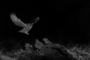 Little owl (Athene noctua) flying at night, Mayenne, France, February. Taken with infra red camera.  -  Eric  Medard