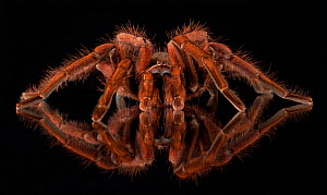 Brazilian pinkbloom tarantula (Pamphobeteus platyomma) reflected on surface, captive occurs in Brazil.  -  Michael  D. Kern