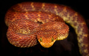 Bush viper (Atheris squamigera) captive, occurs in West and Central Africa. - Michael  D. Kern