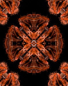 Kaleidoscope pattern formed from picture of Brazilian Pinkbloom tarantula (Pamphobeteus platyomma). See 1499518 for original. EMBARGOED FOR NAT GEO UNTIL the end of 2015  -  Michael  D. Kern