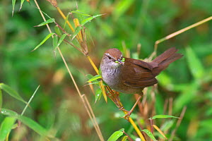 Spotted bush warbler (Bradypterus thoracicus) feeding, Qingchuan county, Tangjiahe National Nature Reserve, Sichuan Province, China, August.  -  Dong Lei