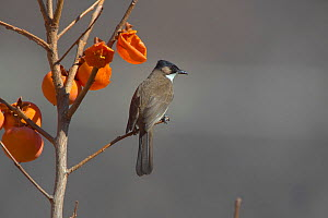 Brown-breasted bulbul (Pycnonotus xanthorrhous) perched on Permisson tree, Kawakarpo Mountain, Meri Snow Mountain National Park, Yunnan Province, China, January.  -  Dong Lei