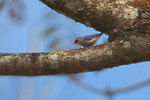 Velvet-fronted nuthatch (Sitta frontalis) on treeb branch, Ruili County, Dehong Dai and Jingpo Autonomous Prefecture, Yunnan Province, China, February.  -  Dong Lei