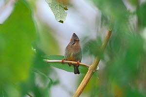 Rufous-vented yuhina (Yuhina occipitalis) Tengchong county, Gaoligong Mountain National Nature Reserve, Yunnan Province, China, February.  -  Dong Lei