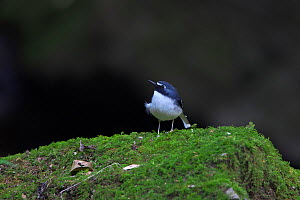 Slaty-backed forktail (Enicurus schistaceus) perched on rock, Ruili County, Dehong Dai and Jingpo Autonomous Prefecture, Yunnan Province, China, February.  -  Dong Lei
