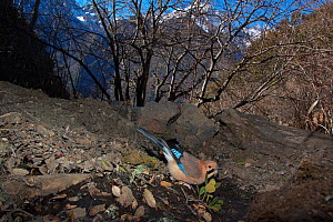Eurasian jay (Garrulus glandarius) drinking from small stream, Lantsang Mekong river, Kawakarpo Mountain, Meri Snow Mountain National Park, Yunnan Province, China, January. Taken with remote camera. - Dong Lei