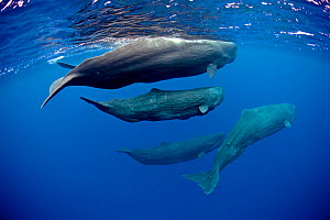 Pod of Sperm whales (Physeter macrocephalus) Dominica, Caribbean Sea, Atlantic Ocean. Vulnerable species. - Franco  Banfi