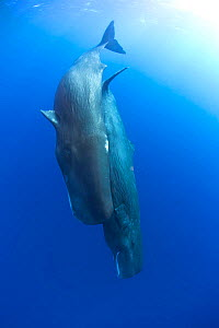 Two Sperm whales (Physeter macrocephalus) diving, Dominica, Caribbean Sea, Atlantic Ocean. Vulnerable species. - Franco  Banfi