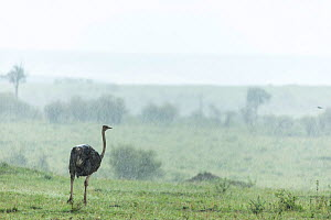 Ostrich (Struthio camelus) female in storm, Masai Mara Game Reserve, Kenya, October, - Denis-Huot