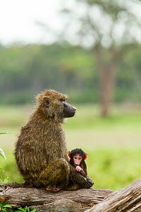 Olive baboon (Papio anubis) female with baby, Masai Mara Game Reserve, Kenya, October.  -  Denis-Huot