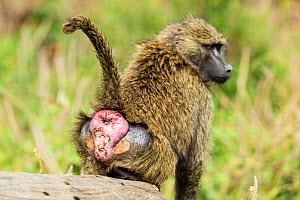 Olive baboon (Papio anubis) female displaying rear end, Nakuru National Park, Kenya, October.  -  Denis-Huot